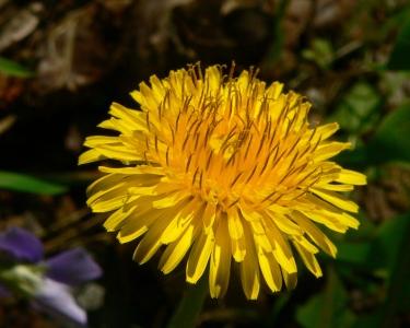 DandelionFlower